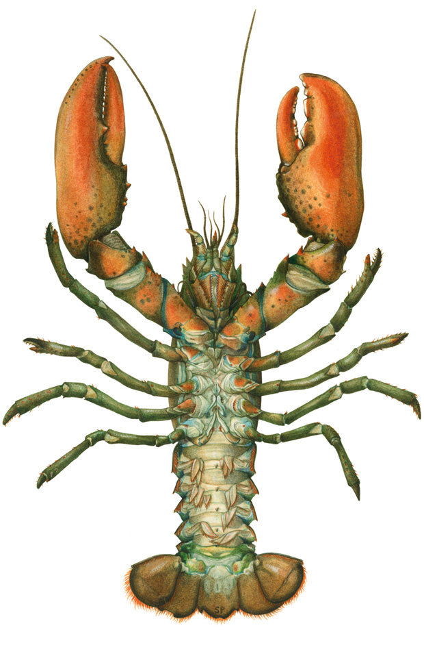 Homarus Gammarus / European Lobster