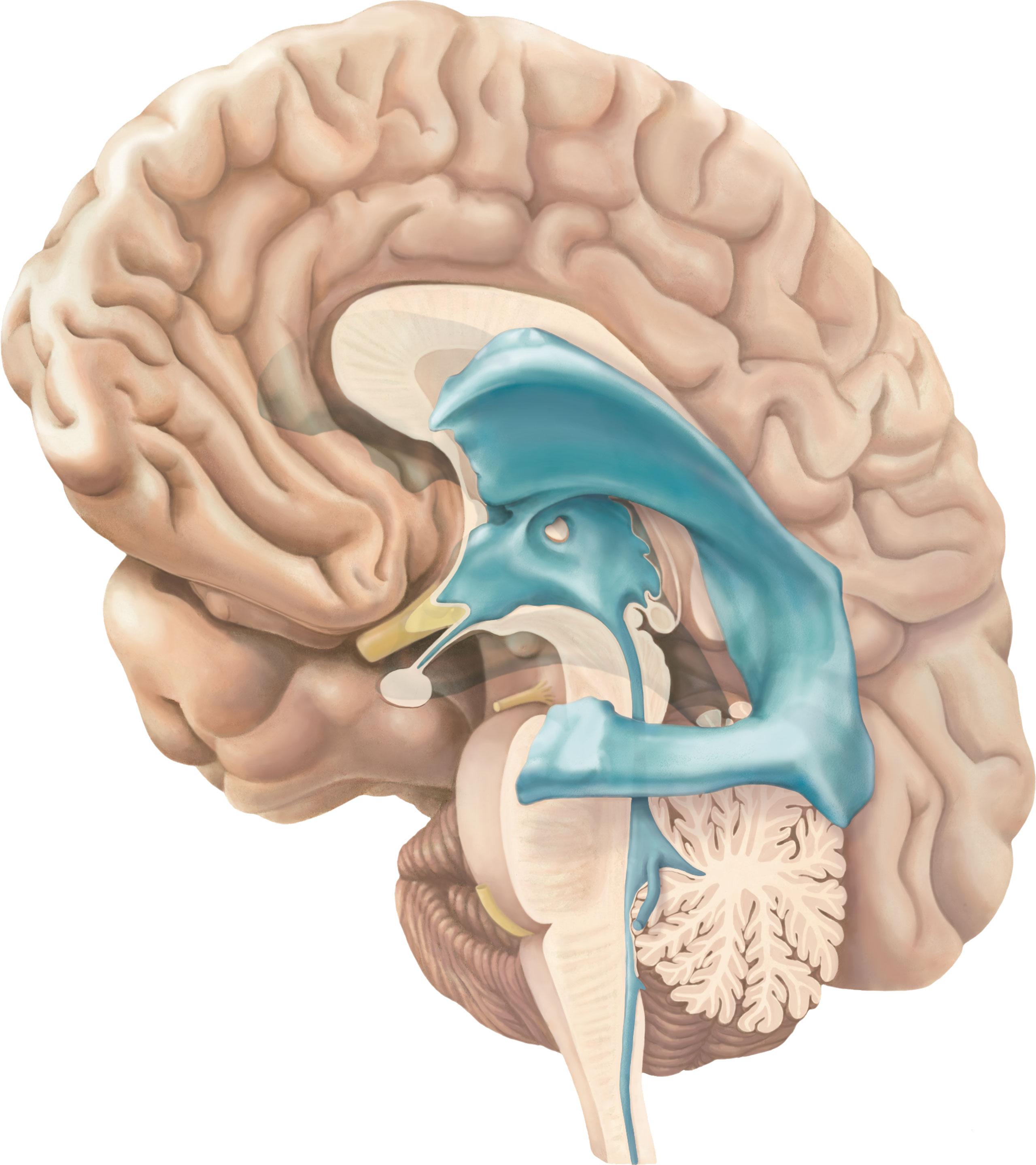 brein-mediaal-vetrikels-2560