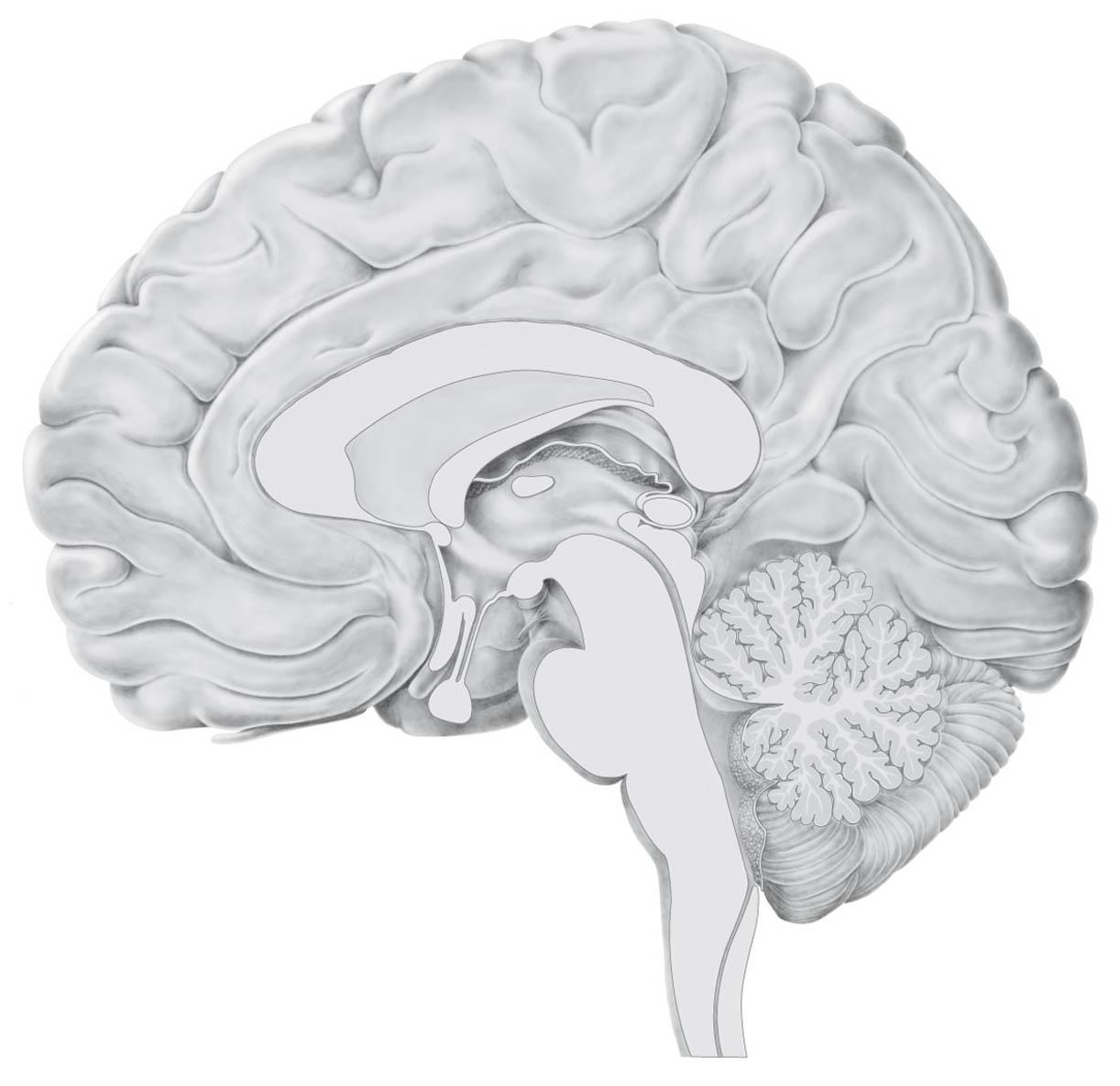 brein-normaal