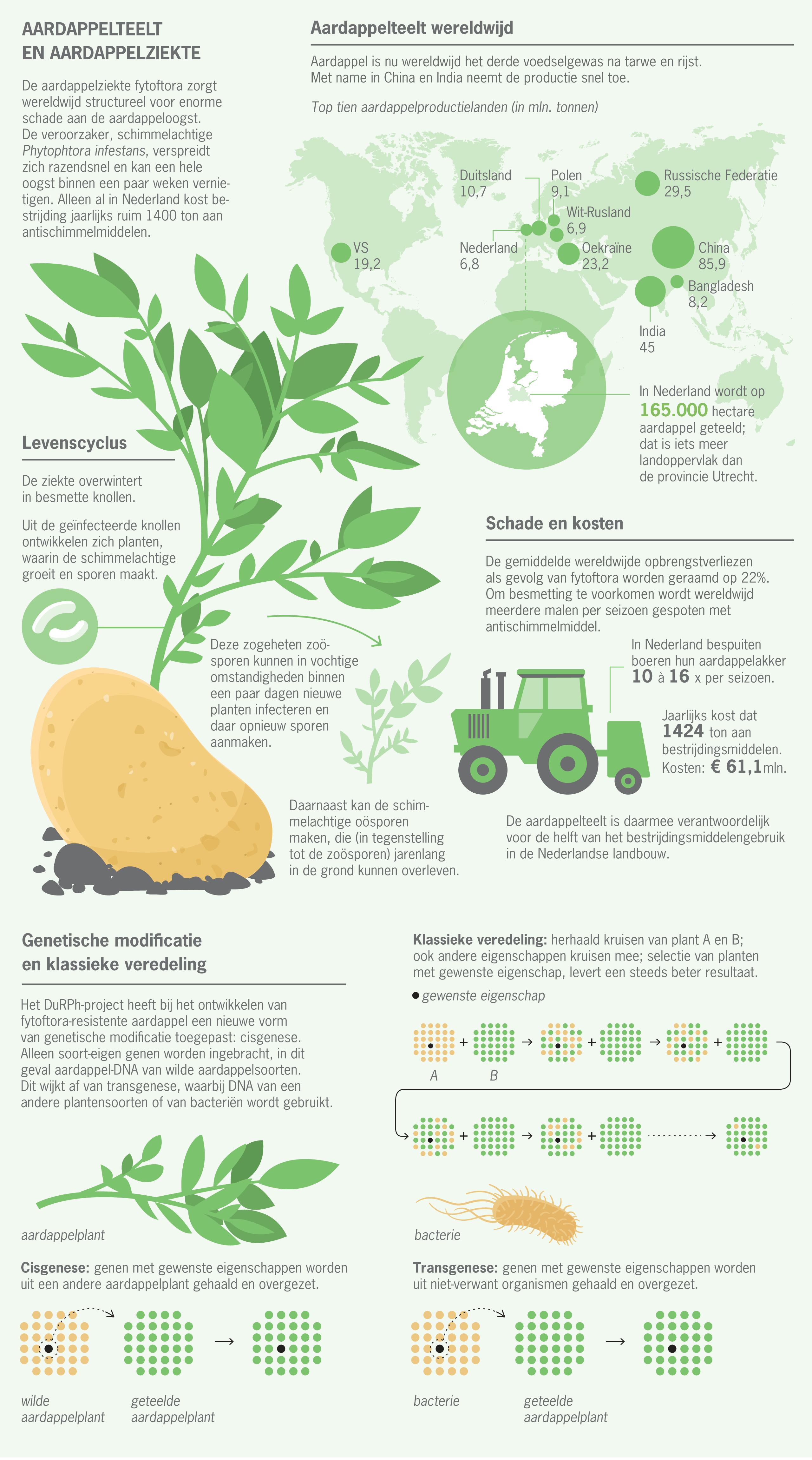 Aardappelplant_groot